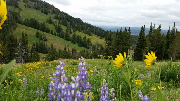 Wildflowers in Yellowstone National Park